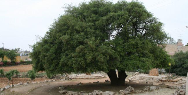 האלון הבודד של גוש עציון בן 700 ונזקק לטיפול רפואי