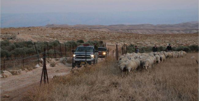פלסטינים גנבו עדר שלם; התושבים רדפו והחזירו אותו