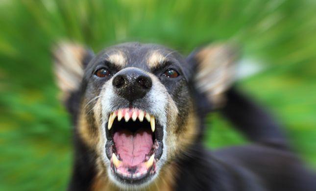 רמאללה: כלב בר טרף תינוקת