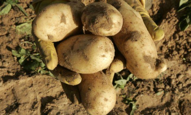 בגלל הסופה: יבול תפוחי האדמה יהיה נמוך משמעותית