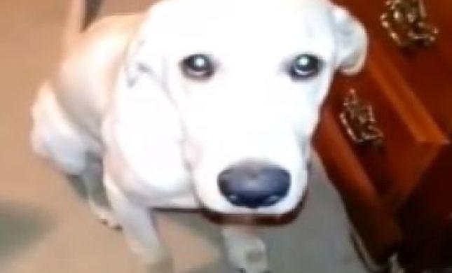 אכולי אשמה: צפו במבטי חרטה של כלבים