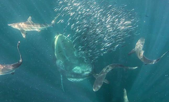 מדהים: צוללנית במפגש אכזרי עם לוויתן