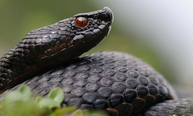 בן 70 הוכש מנחש באורך של כ-2 מטרים