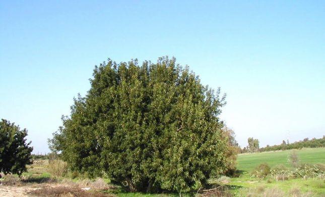 שנת שמיטה: הפתרון המקורי לנטיעת עצים