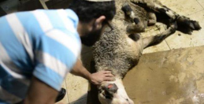 איפה הרבנים כשמדובר בהלכות צער בעלי חיים?