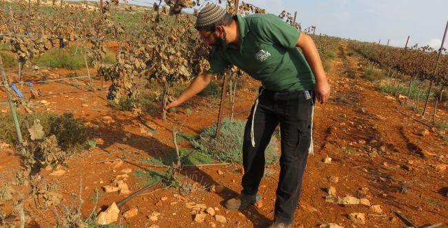 טרור חקלאי: כאלף גפנים הושחתו ונכרתו בגוש שילה