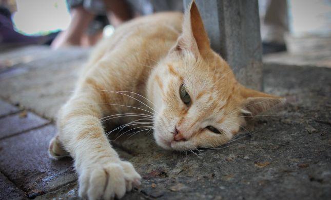 סירוס חתולים אסור לפי ההלכה