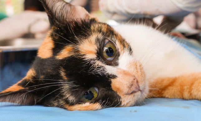 מזעזע: כך נראה ניתוח לסירוס חתול רחוב