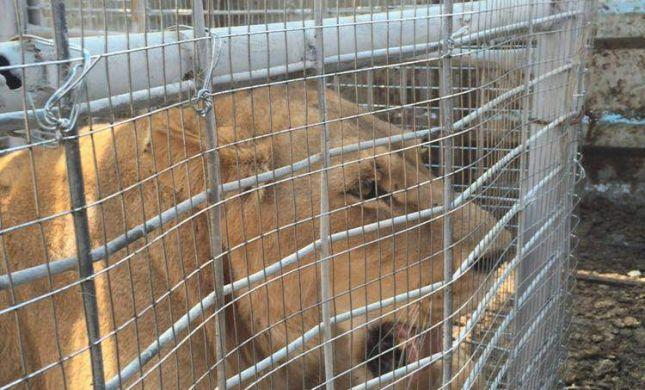 טרנספר מרצון: אריות מועברים מעזה לטול כרם