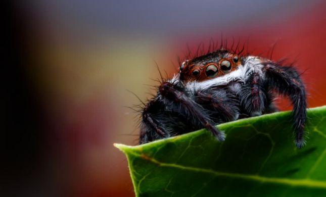 שניים סינים ועכביש גדול: הפחד שהפך למציאה נדירה