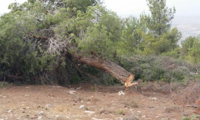 """פלסטינים נתפסו על חם כורתים עצים ביער קק""""ל"""