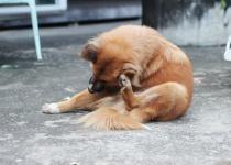 יש לכם כלב – זהירות! אסור להוציא קרציות בשבת