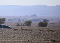 חדשות טובות מהנגב: אוכלוסיית צבי הנגב יציבה