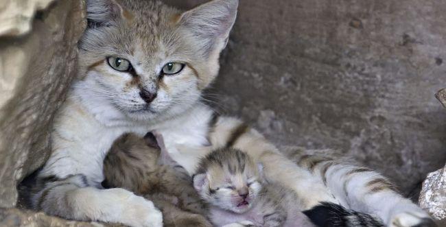 """שו""""ת: מה זה אומר ללמוד צניעות מחתול?"""