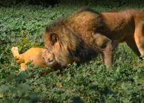 מרהיב: כך האריות אוהבים את הקפה שלהם. צפו