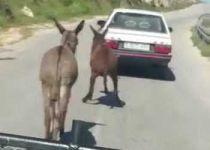 ערבי התעלל בחמור וגרר אותו בכביש מהיר. צפו
