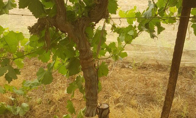 תג מחיר שלא שמעתם עליו: ערבים השחיתו 140 עצי גפן