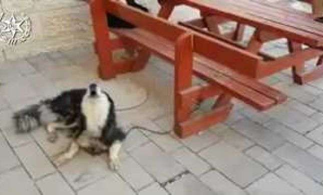 הכלב זוהה לפי הנביחות בשיר הפתיחה של 'שמש'
