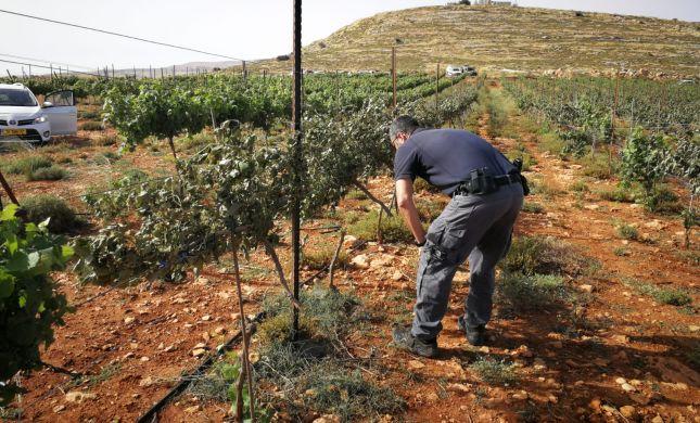 טרור חקלאי ענק: 1000 גפנים נכרתו ליד שילה