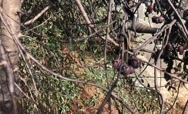 מחבלים הציתו את מטעי הדובדבנים בגוש עציון