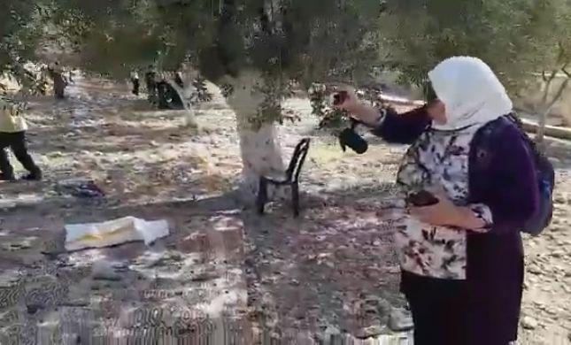 חרפה: עשרות מוסלמים מוסקים זיתים בהר הבית