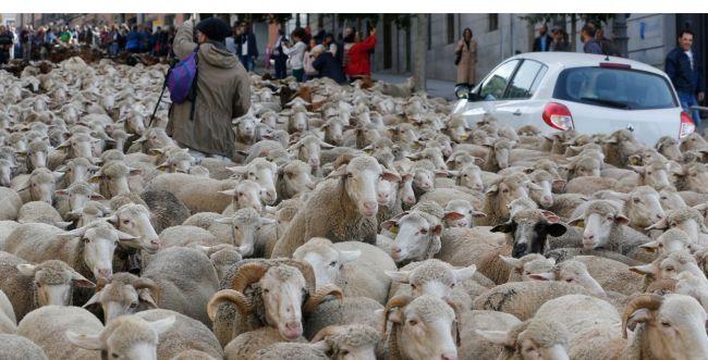 מחאה מוזרה: אלפי כבשים חסמו את רחובות מדריד