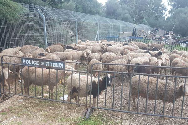ערבים ניסו לגנוב 150 כבשים מתושב כפר סיטרין