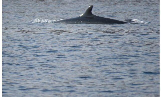 צפו: להקת דולפינים נדירה משייטת באילת