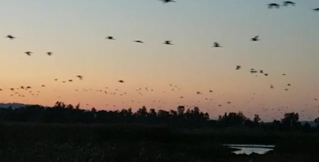 מקסים: עשרות אלפי עגורים באגמון החולה