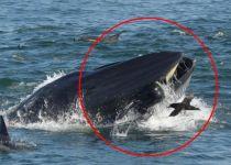 כמו יונה הנביא: אדם נבלע על ידי לוויתן- וניצל בנס. צפו