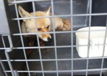 מרפיח לדרום אפריקה: חולצו 50 בעלי חיים מעזה