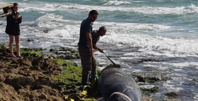 לווייתנית נפלטה מהים לחוף דור, הנסיבות בבדיקה