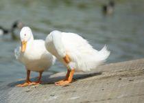 מה הקשר בין ברווזים לחרות? משחק לליל הסדר