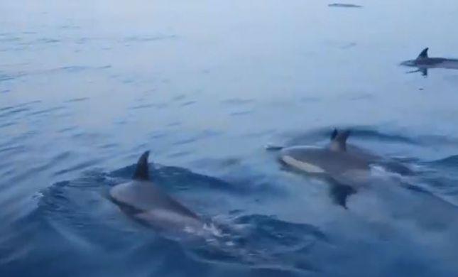 מרהיב: דולפינים הפתיעו את השיטור הימי באשדוד- צפו