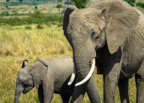בעקבות הבצורת: נמיביה תמכור פילים וג'ירפות