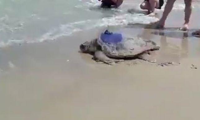 צפו: צב הים חוזר לטבע לאחר שיקום מפציעה