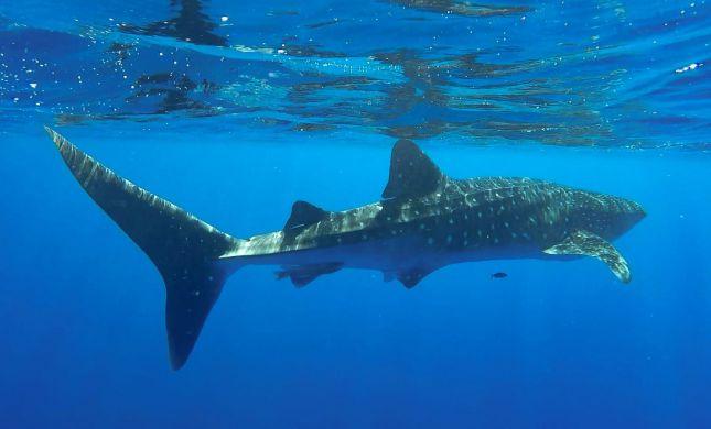 אורח נדיר במפרץ אילת: כריש לוויתני