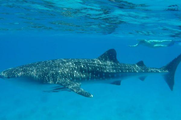 מרהיב: הדג הגדול ביותר בעולם נצפה בישראל. צפו