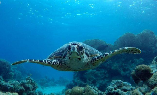 צפו: צב ים נדיר הגיע לביקור בשמורת האלמוגים באילת