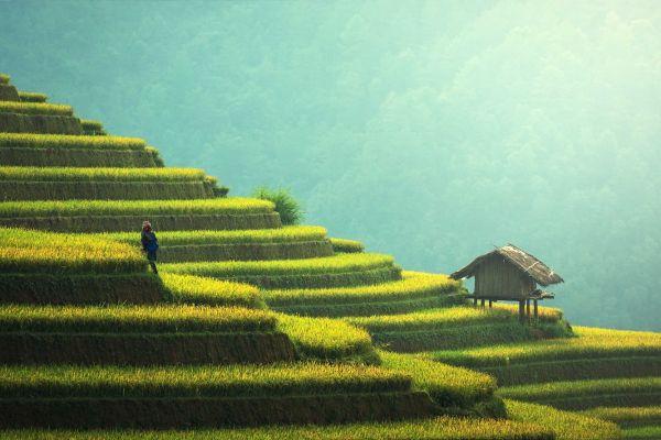 איך הפכה סין למעצמת אורז?