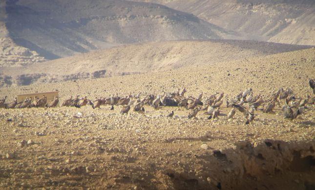 מדהים: 50 נשרים בארוחת בוקר במכתש הגדול
