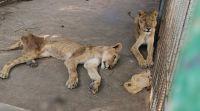 חדשות בעולם, מבזקים מזעזע: אריות גוועים למוות מרעב בגן החיות בסודן