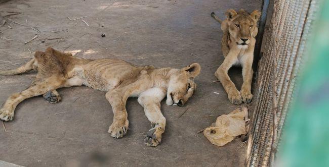 מזעזע: אריות גוועים למוות מרעב בגן החיות בסודן