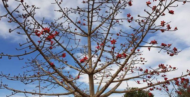 """עץ של געגוע - סיפור לט""""ו בשבט על עץ אחד בשא-נור"""
