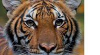 ויראלי נמר בגן החיות בניו יורק חלה בקורונה