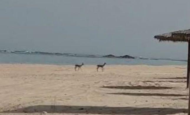 במקום האנשים: חיות הבר פוקדות את חופי הים. צפו