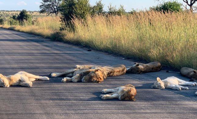 תמונות נדירות: ההסגר הוציא את האריות לכביש