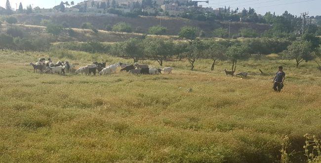 היחידה למלחמה בשריפות בירושלים: עיזים וגמלים