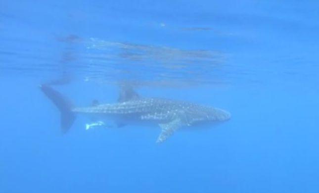 הדג הגדול ביותר בעולם נצפה במפרץ אילת. צפו
