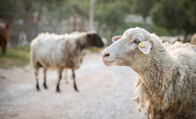 פנימיות בקטנה: למה קרבן פסח הוא דווקא כבש?